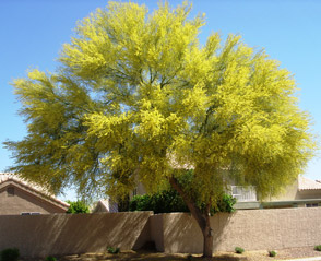 Sun City Trees Nursery Plants Chandler Desert Shade Citrus Shrubs